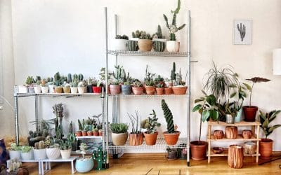 Can succulents be grown indoors?