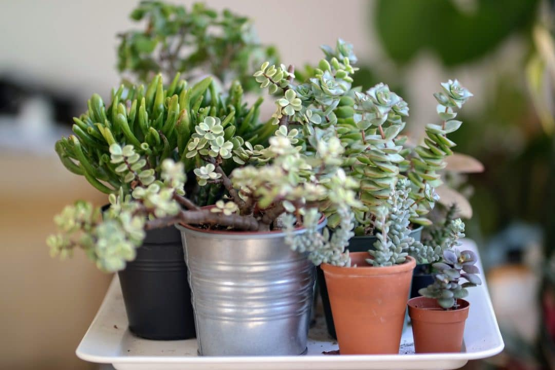 Can Succulents Be Grown Indoors Miss Pot Plant