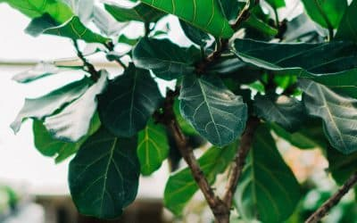 Care tips for the Fiddle Leaf Fig: The complete growing guide