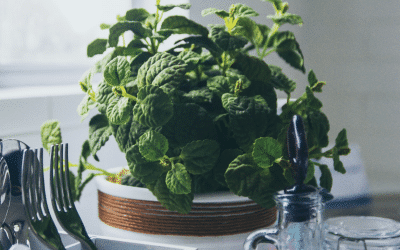 Growing potted mint the right way